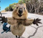 クアッカワラビーに会いたい!観光やツアーの旅行会社をチェック!